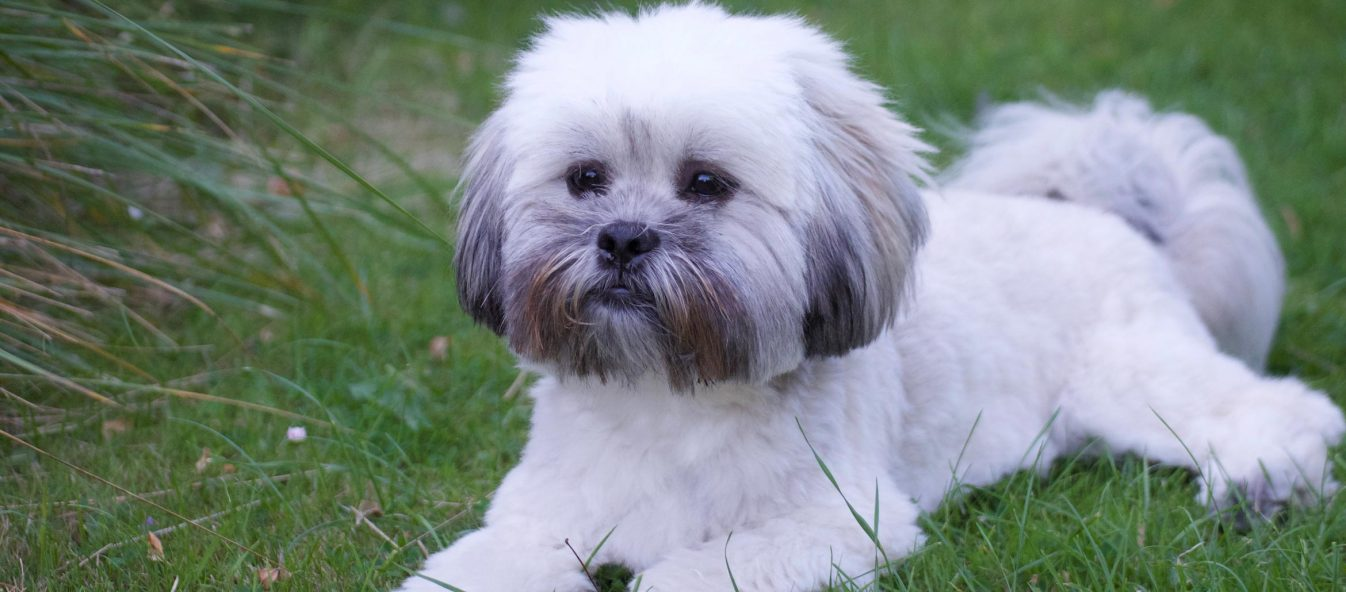 Lhasa Apso puppy laying on the grass
