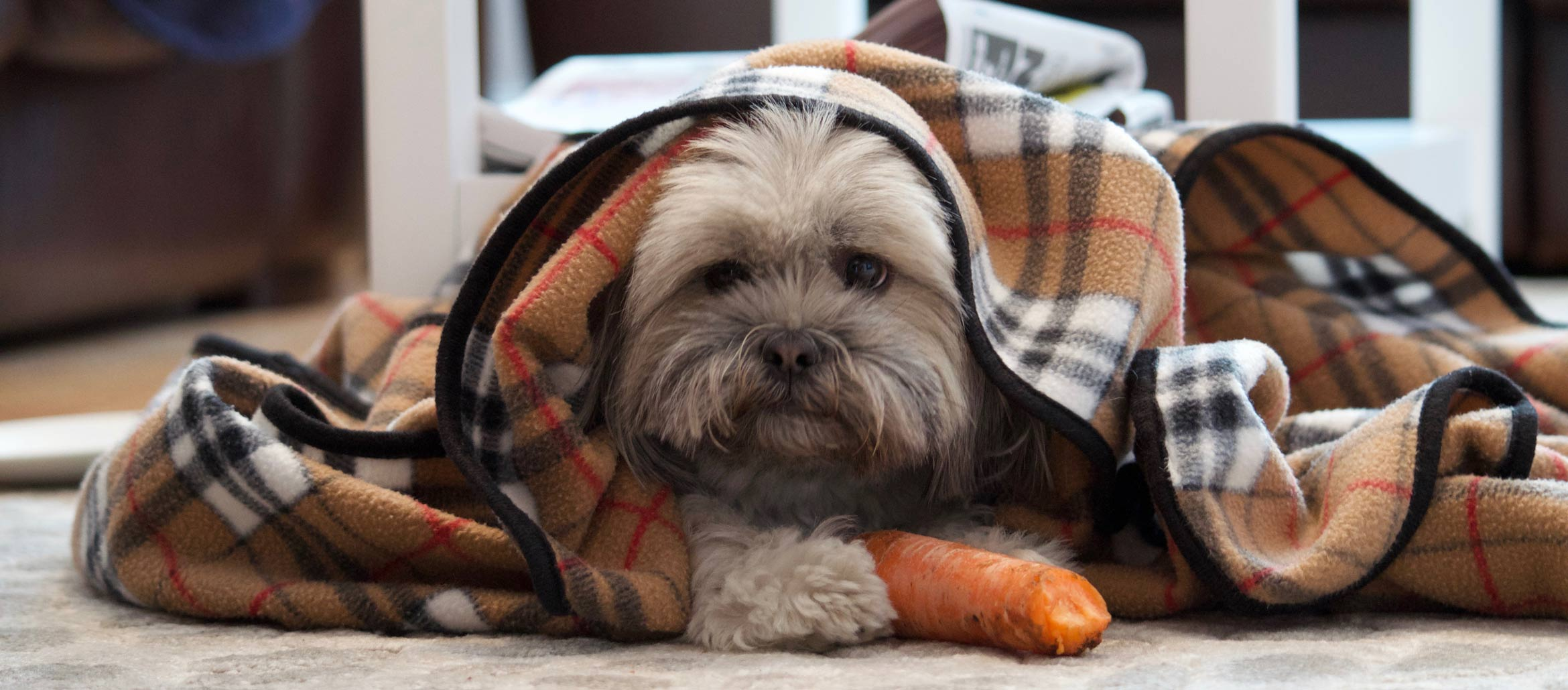 Puppy with a carrot and a blanket
